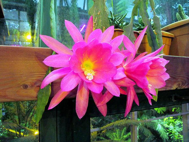 В Ботаническом саду расцвел редкий сорт дизокактуса
