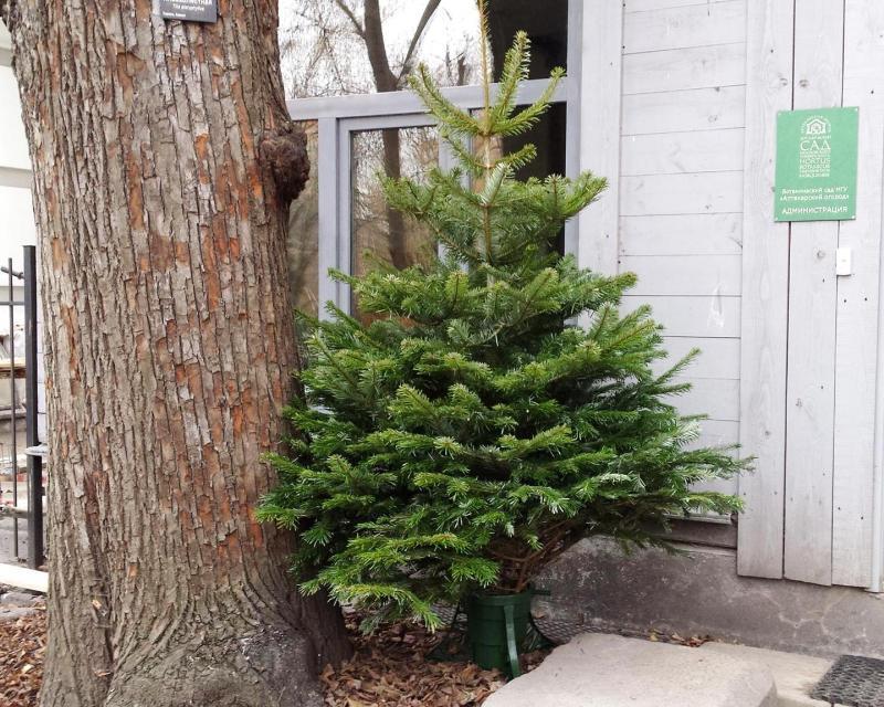 Москвичи украсят Новогоднюю ель в «Аптекарском огороде»