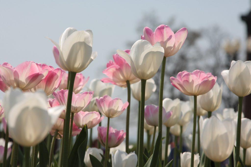 Осенью в Москве посадят свыше 100 сортов тюльпанов