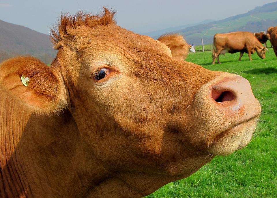 Комитет ветеринарии города Москвы информирует о выявлении на территории Владимирской области заболевания крупного рогатого скота ящуром