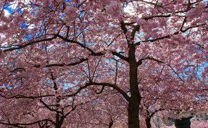 Выставка розовых деревьев откроется 30 мая в «Аптекарском огороде». Фото: pixabay.com