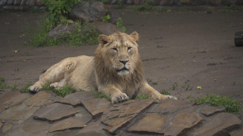 Львиное счастье Кувама
