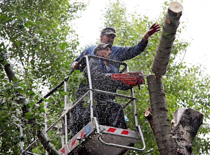Горячая линия: обрезку деревьев проведут в Красносельском районе