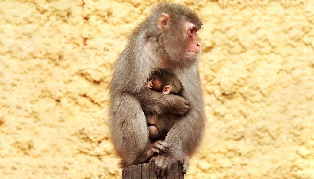 Снежные обезьяны летом: в Московском зоопарке родился детеныш японской макаки