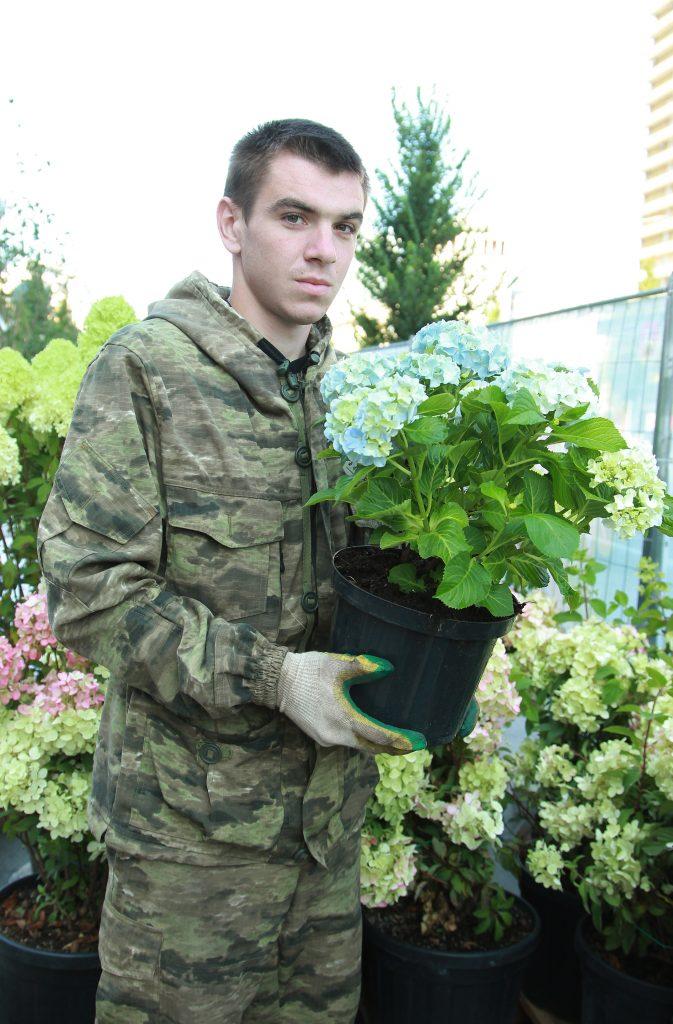 Озеленитель Александр Протасенков украшает цветущей гортензией площадку на Новом Арбате. Фото: Наталия Нечаева, «Вечерняя Москва»