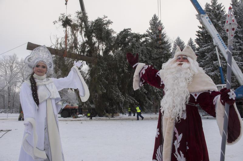 Главную елку России срубят в Подмосковье в воскресенье
