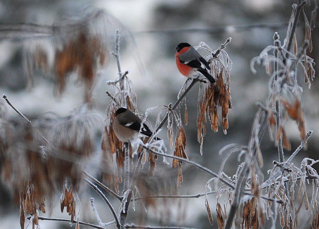 Птица под градусом: москвичей призвали помочь нетрезвым снегирям