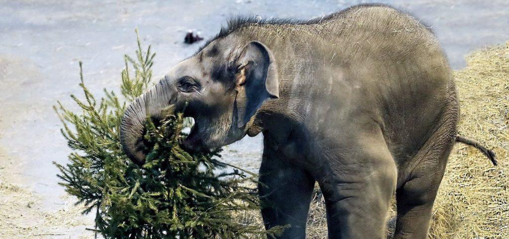 Питомцы Московского зоопарка получили более 1000 нераспроданных елей. Фото: сайт мэра Москвы