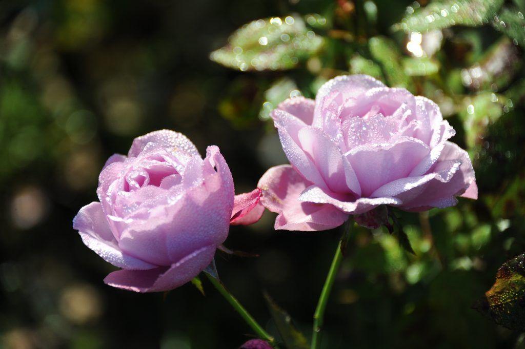 Москвичей пригласили на выставку роз в «Аптекарский огород»