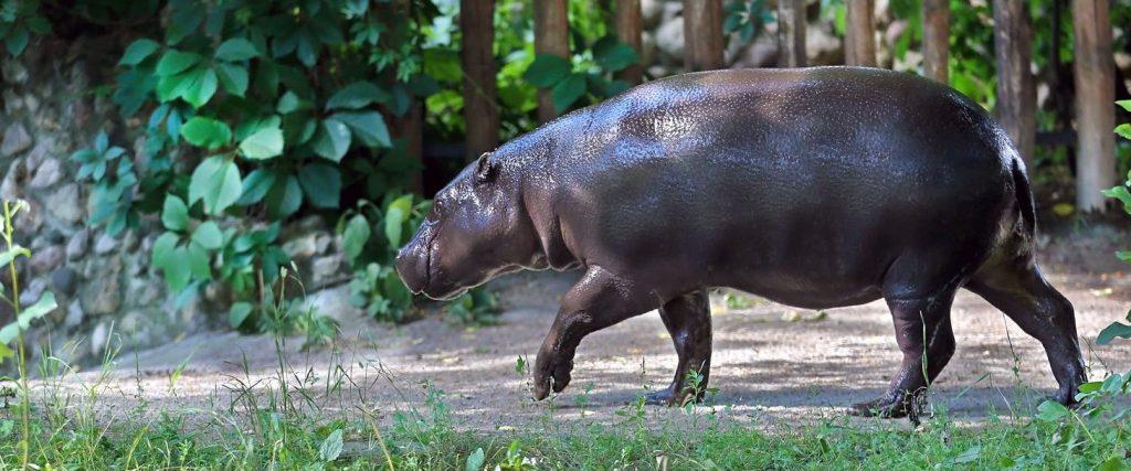 Сотрудники Московского зоопарка начали вести бьюти-блог от лица бегемота. Фото: сайт мэра Москвы