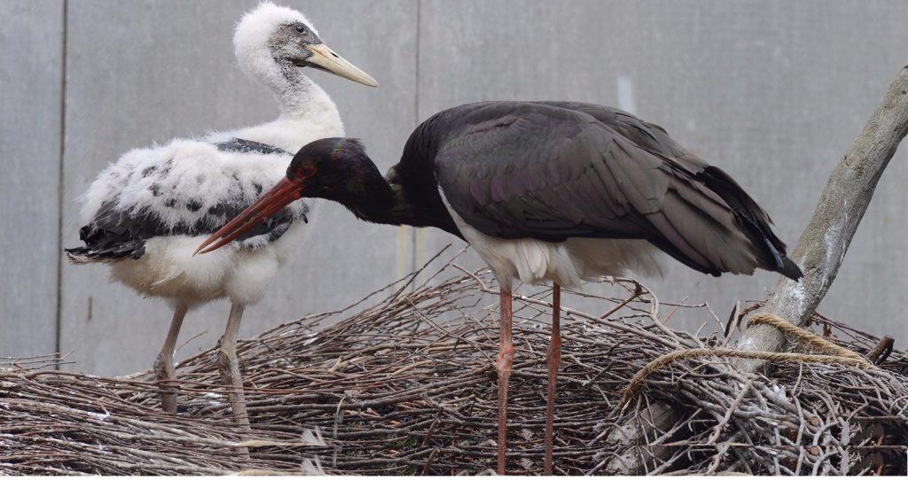 Птенцы черного аиста вылупились в Московском зоопарке. Фото: сайт мэра Москвы