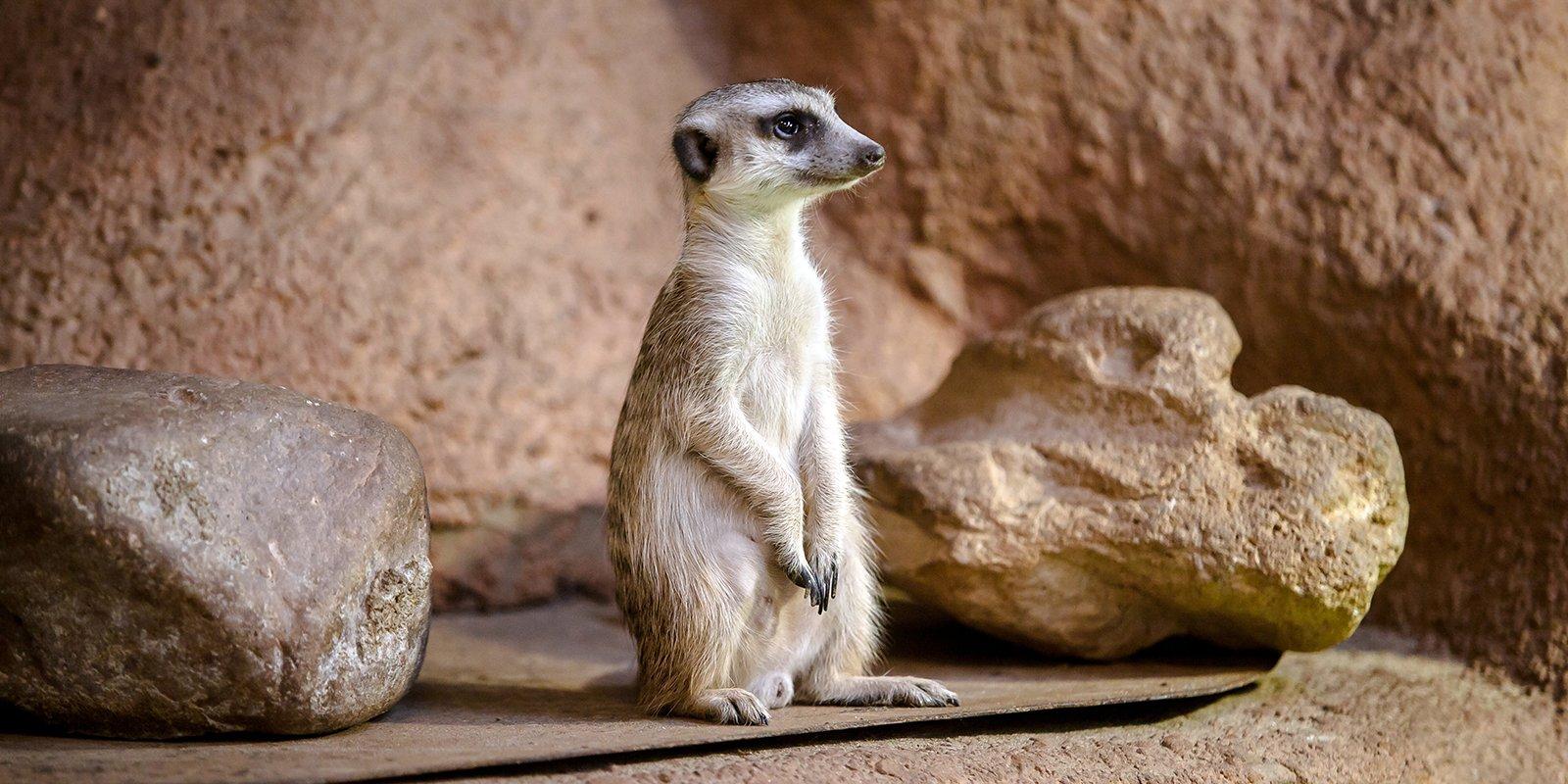 Сурикаты Московского зоопарка дали потомство. Фото: сайт мэра Москвы