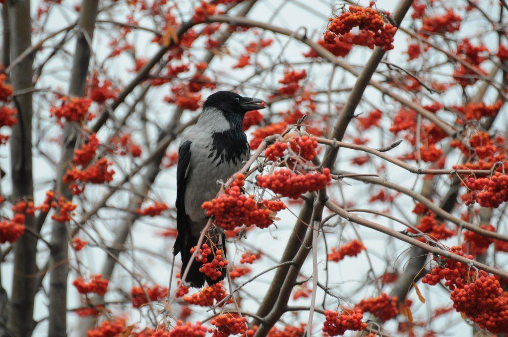 Фотофакт: вороны отдают предпочтение ягодам