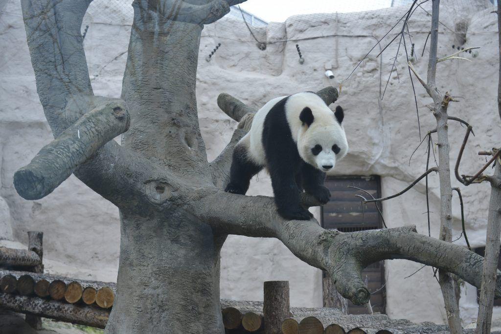 Обнимашки с пандами — это миф