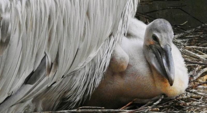 Пеликаны из Московского зоопарка отправились в теплый вольер
