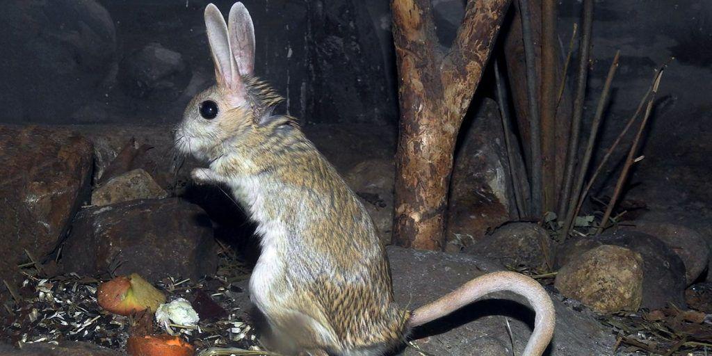 Тушканчики впали в спячку в Московском зоопарке