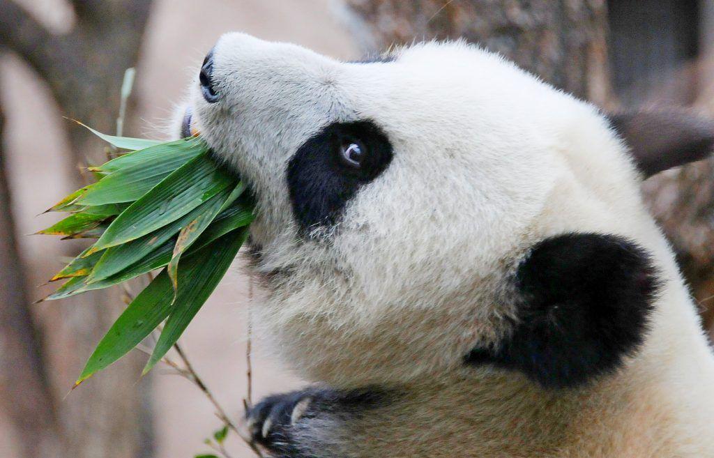 Панды Московского зоопарка могут завоевать международную премию