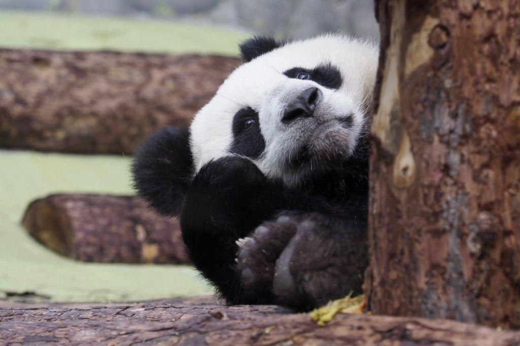 Панды Московского зоопарка нарисовали первые картины
