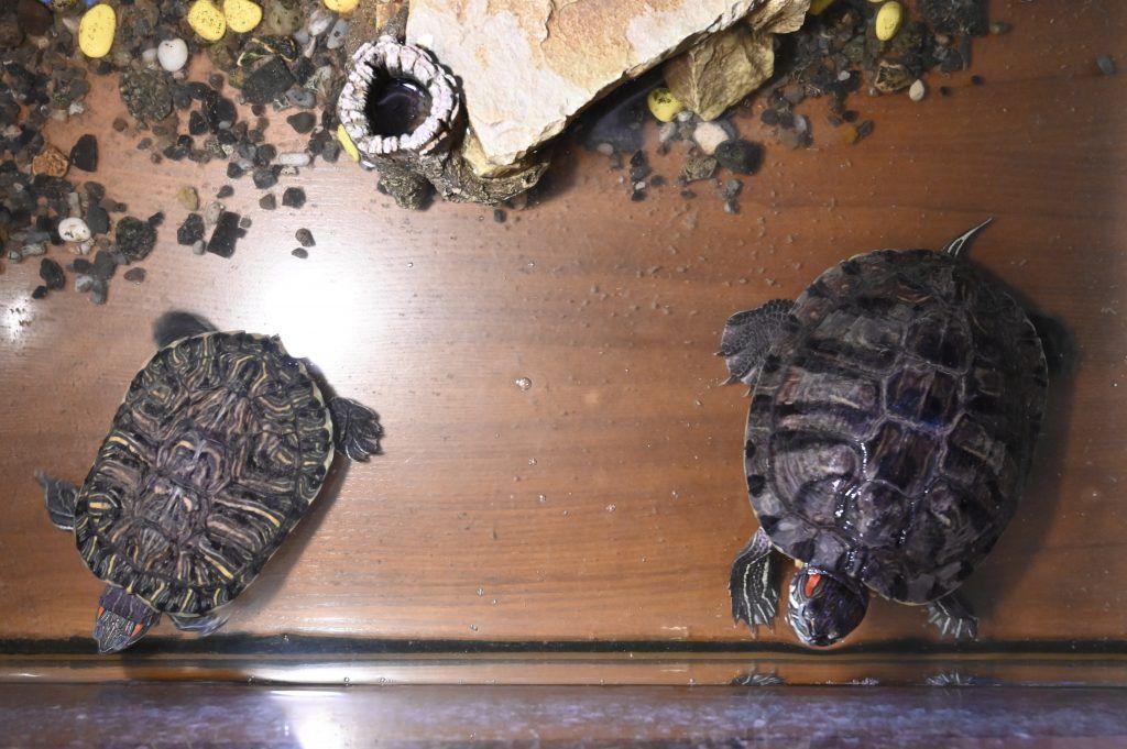 Черепахи Самсон Самсонович и Борис Борисович обитают в зале библиотеки. Фото: Алексей Орлов