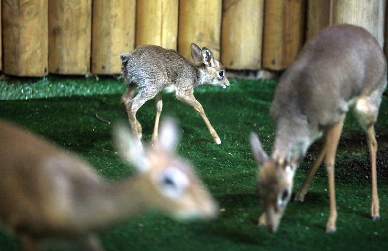 Детеныш африканской антилопы появился на свет в Московском зоопарке