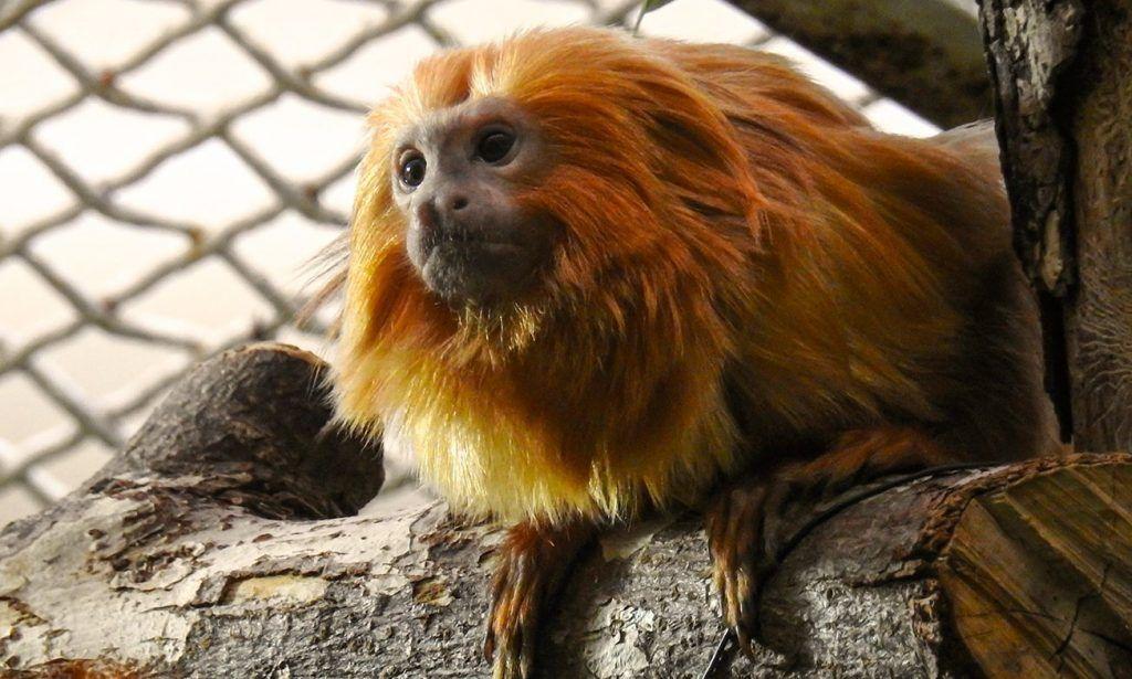 Редкие золотистые обезьяны впервые поселились в Московском зоопарке