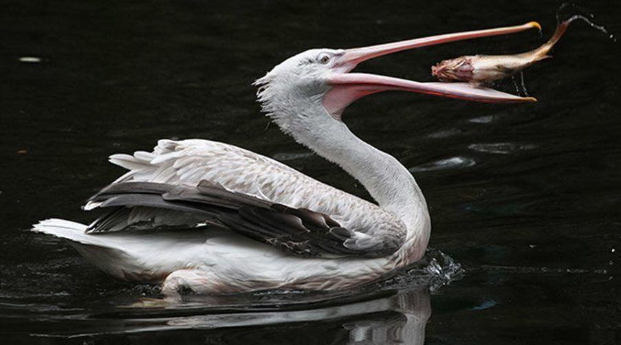 Редкие кудрявые пеликаны появились на свет в Московском зоопарке. Фото: сайт мэра Москвы