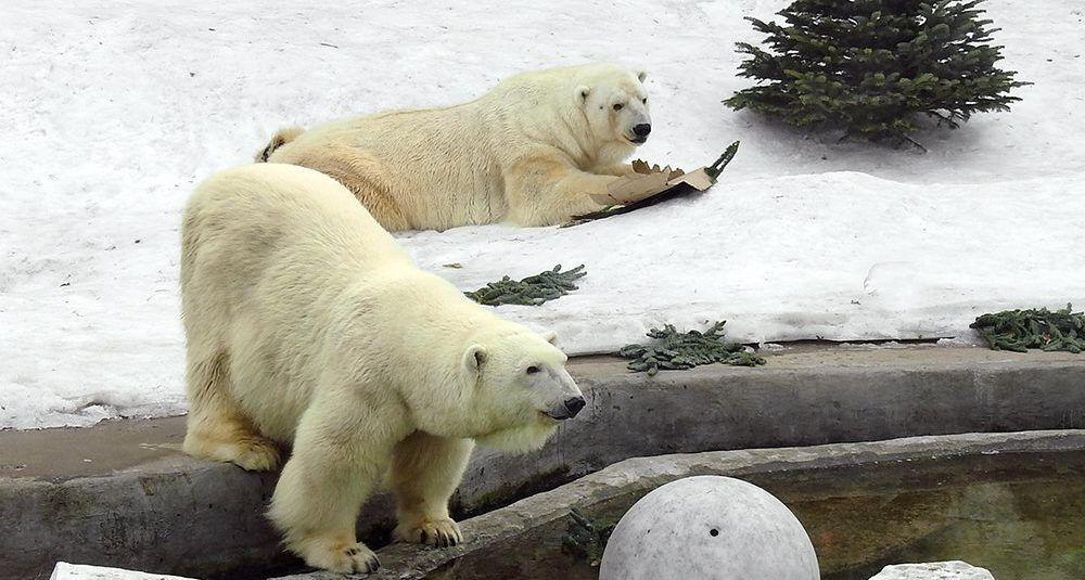 Свыше трех тысяч нераспроданных елок поступило в Московский зоопарк