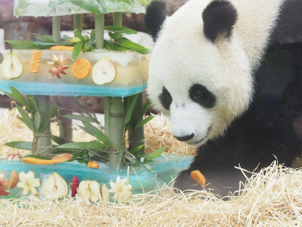 Московский зоопарк: «Китайская» зима помогла пандам адаптироваться