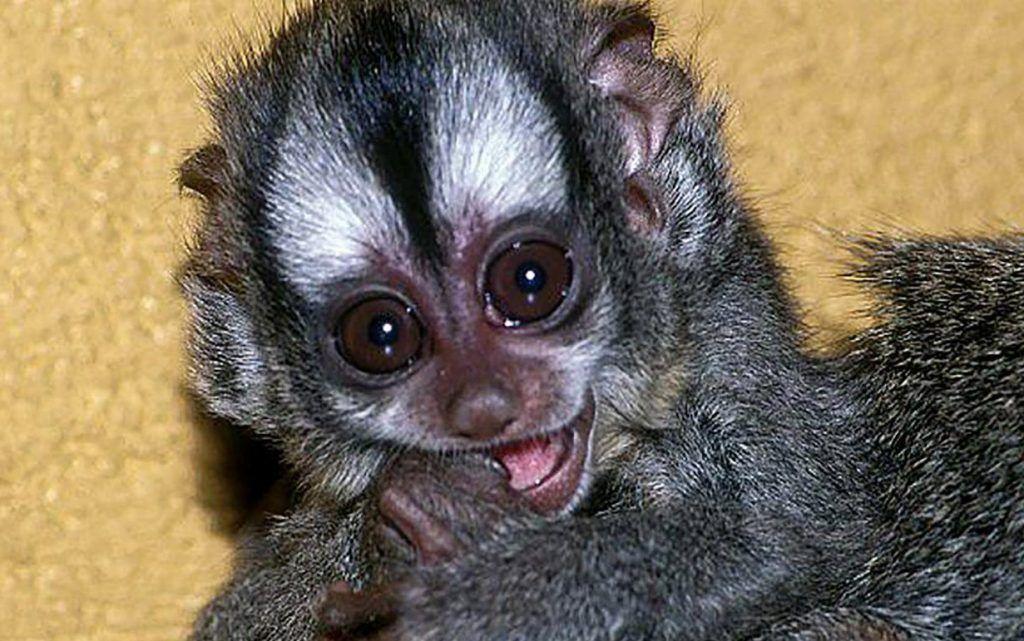 Редкая боливийская обезьяна с большими глазами впервые родилась в Московском зоопарке
