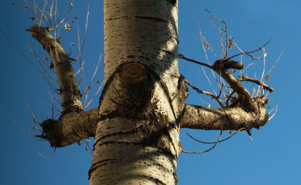 Теперь деревья выглядят так. Фото: Наталия Нечаева