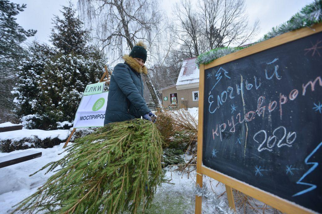 Жители Москвы сдали более 50 тысяч новогодних деревьев на переработку