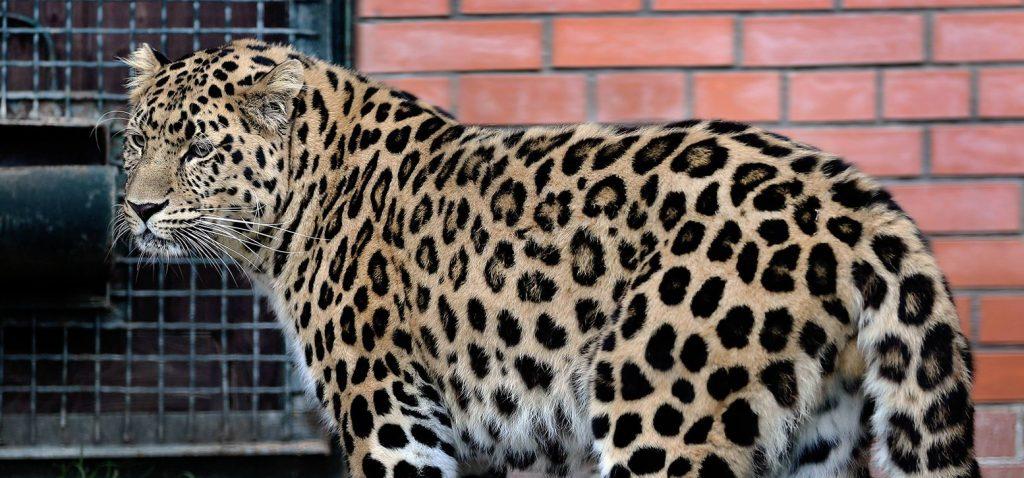 Невесту для приморского леопарда подыщут в Московском зоопарке