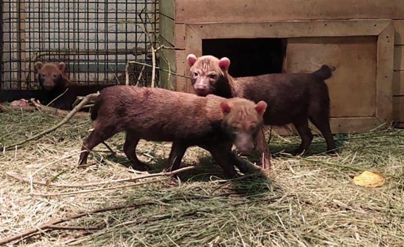 Щенки редких кустарниковых собак родились в Московском зоопарке