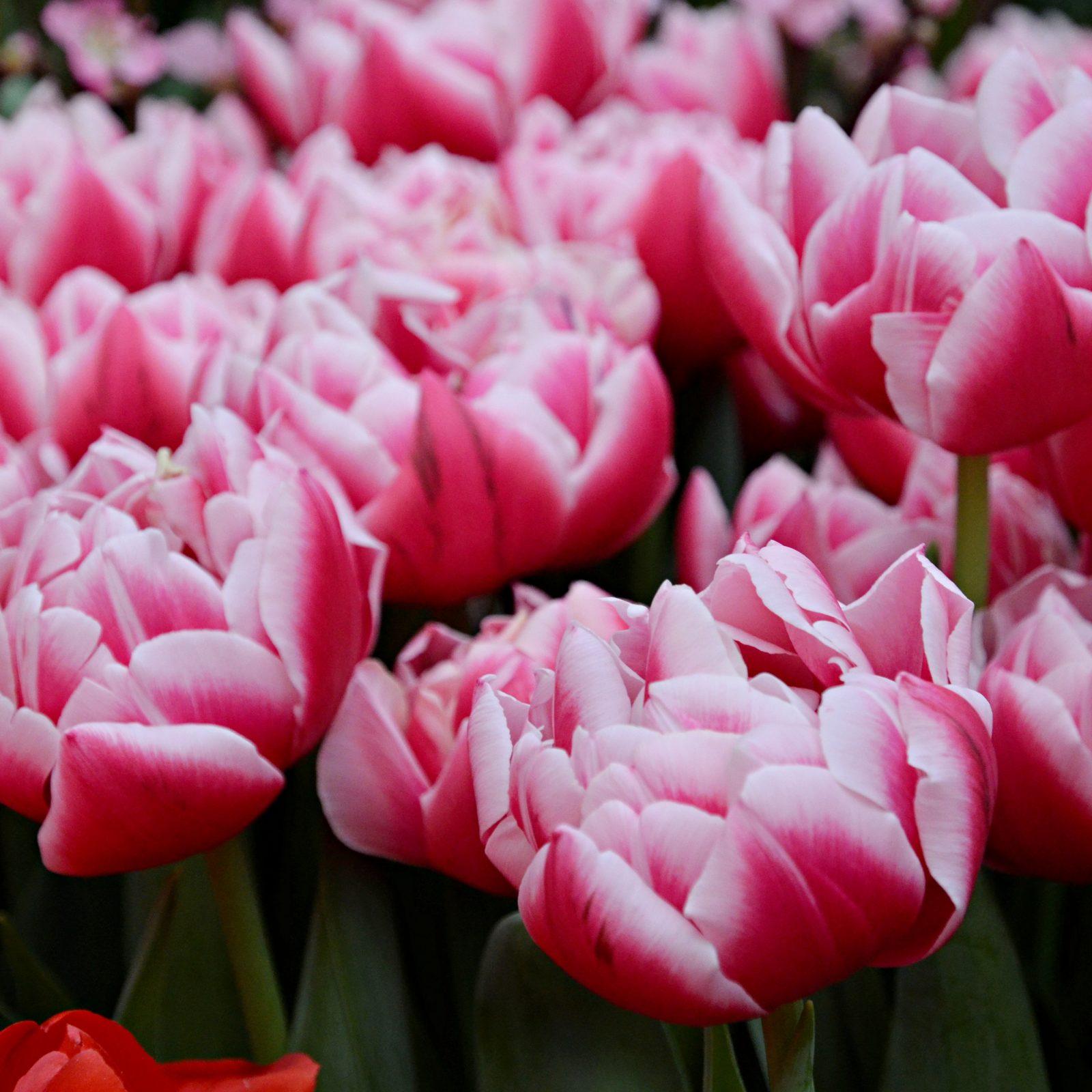 У тюльпанов множество оттенков. А в некоторых бутонах можно даже увидеть градиент. Фото: Анна Быкова