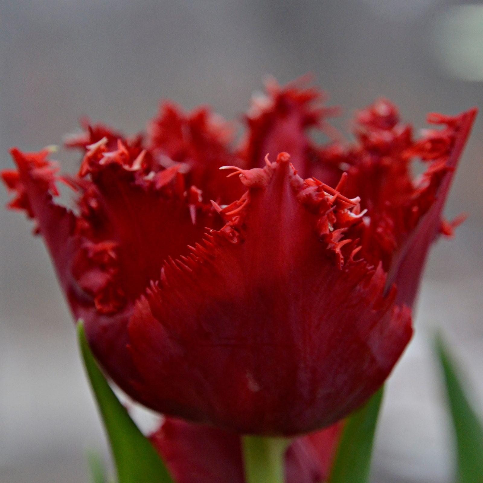 У некоторых тюльпанов по краям как будто маленькие «реснички».  Их называют бахромчатыми. Фото: Анна Быкова