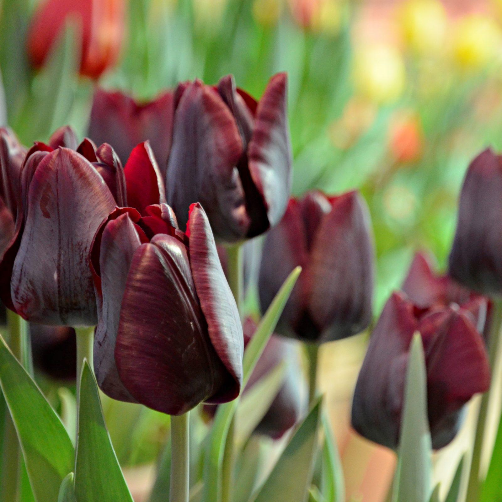 Это сорт тюльпана наиболее приближен к черному цвету, но имеет темно-бардовый оттенок. Фото: Анна Быкова