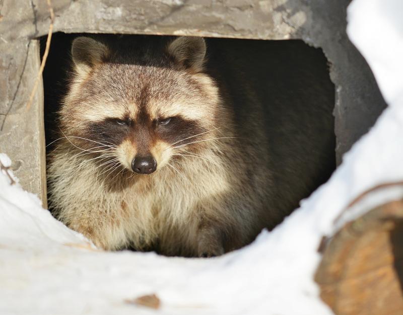 Еноты Московского зоопарка впали в зимнюю спячку на два месяца позже