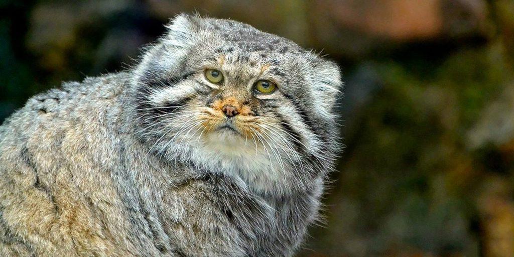 Кот-талисман: в Московский зоопарк вернется забайкальский манул. Фото: сайт мэра Москвы