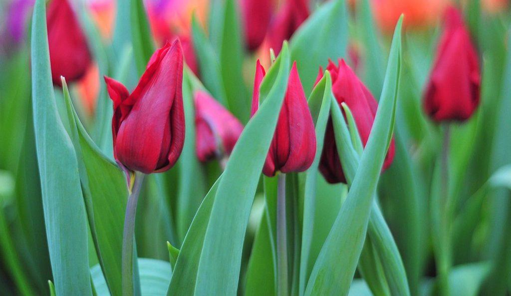 Макет голландского дома XVII века с тюльпановым садом увидят москвичи в «Аптекарском огороде». Фото: сайт мэра Москвы