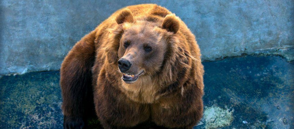 Медведи Роза, Алладин и Будур проснулись на месяц раньше в зоопарке