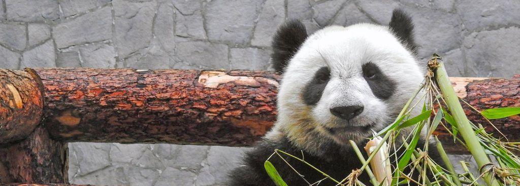 Панды и мартышки: сотрудники Московского зоопарка покажут кормление животных в режиме онлайн