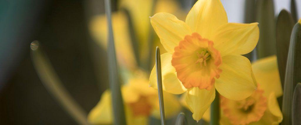 Нарциссы и гиацинты расцвели раньше обычного в городских парках