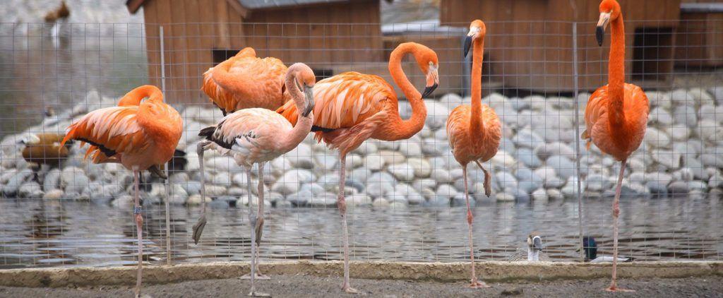 Фламинго переселили в уличный вольер в Московском зоопарке