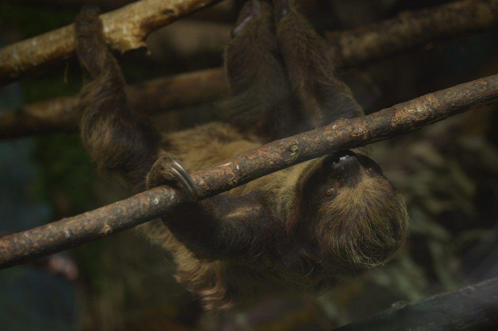 Новое видео о ленивцах опубликовали сотрудники Московского зоопарка