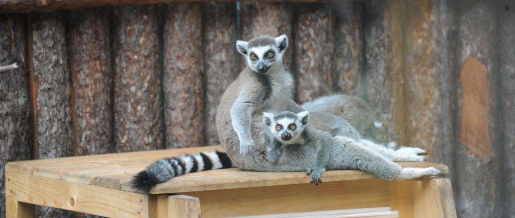 Детеныш редкого кошачьего лемура родился в зоопарке