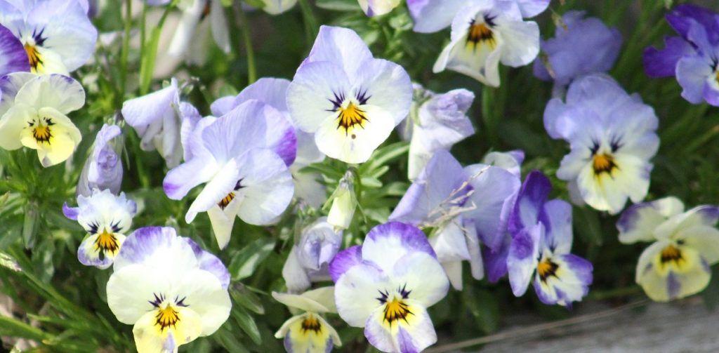 Виолы украсили дворы Мещанского района. Фото: pixabay.com