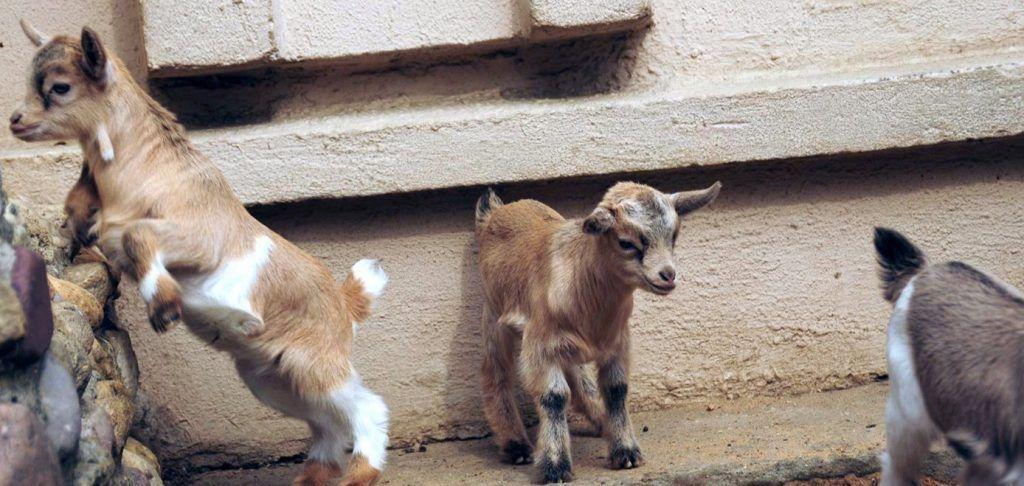 Несколько козлят дагестанских туров родились в Московском зоопарке