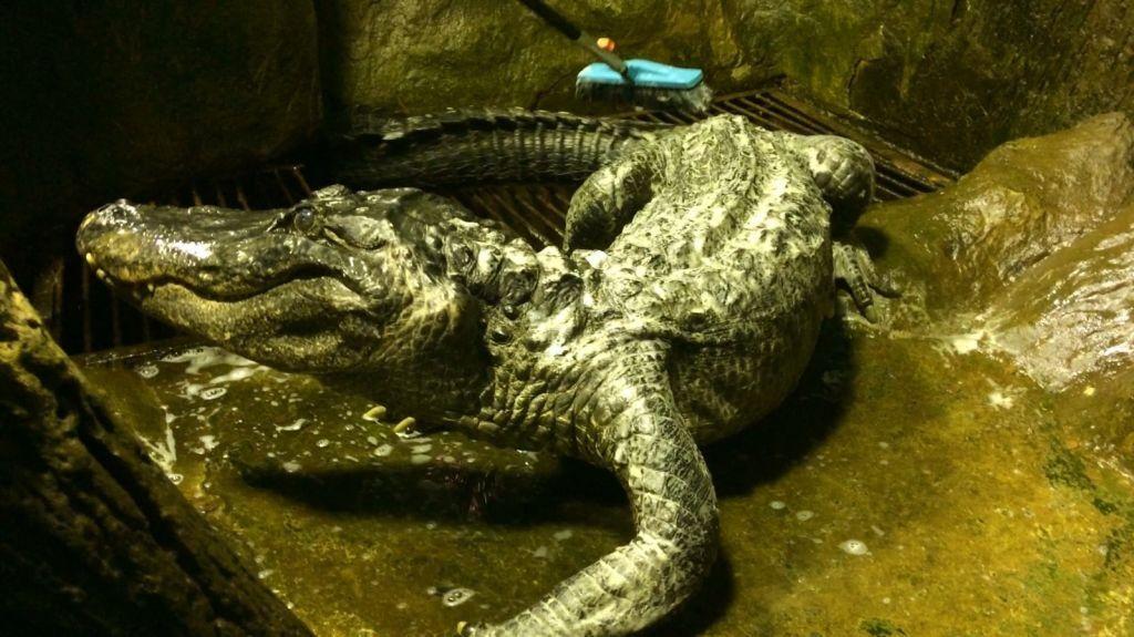 Зеленый и совсем не страшный: в столичном зоопарке умер известный аллигатор Сатурн