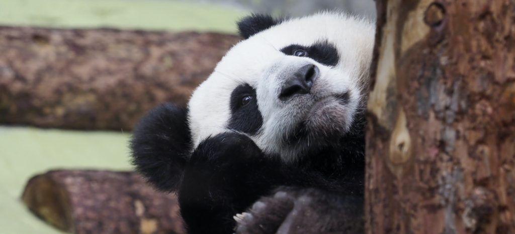 Красоты много не бывает, или Как панды Жуи и Диндин набирали вес