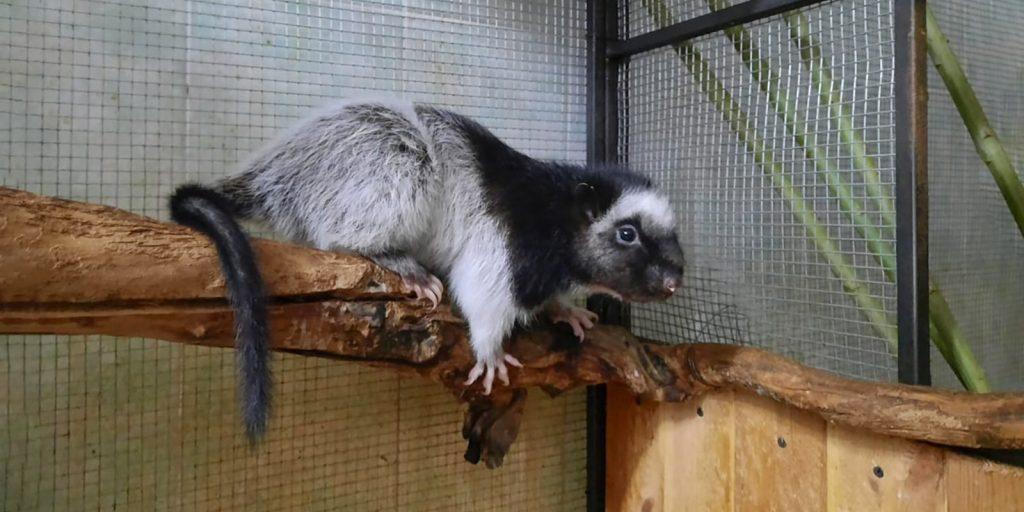 Детеныш огромной дымчатой крысы родился в Московском зоопарке